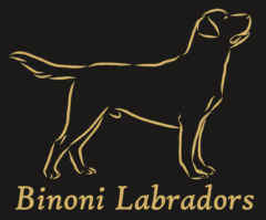 Binoni Labradors
